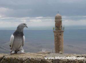 Mardin Güvercini