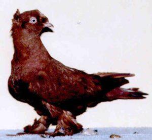 Ankut Güvercinleri