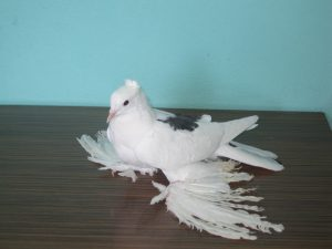 Mardin Yer Güvercinlerin özellikleri