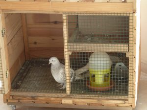 Güvercin Kümesi Bakımı